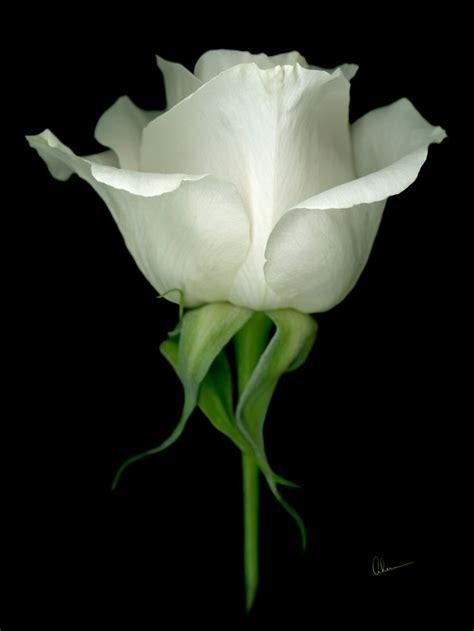 white rose  black background  single white rose   contemporary black background