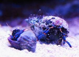 Hermit crabs Brackish Saltwater The Shrimp Spot