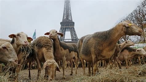 french farmers protest  wolf attacks itv news