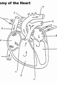 Anatomy And Physiology Printable Worksheets  U2013 Merit Badge