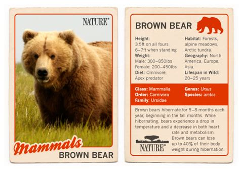 bears of the last frontier brown fact sheet 604 | nature tradingcard brownbear