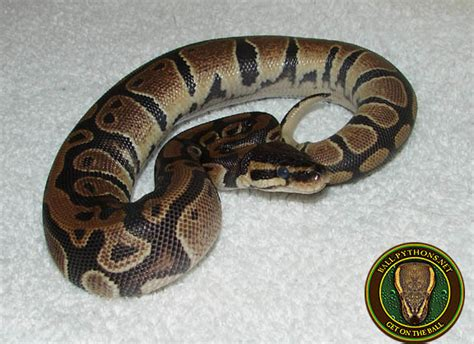python shedding the shedding process