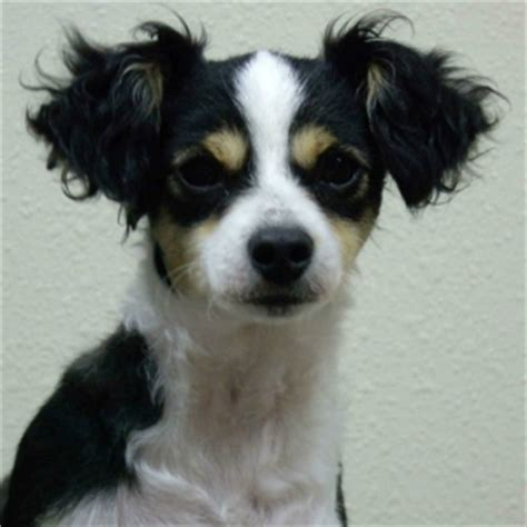 chi poo dog breed facts  information