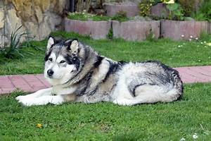Husky vs Malamute: What are the Differences? | Mini Husky ...