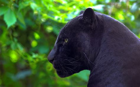 Black Jaguar Animal Wallpaper - jaguar wallpaper animal black johnywheels