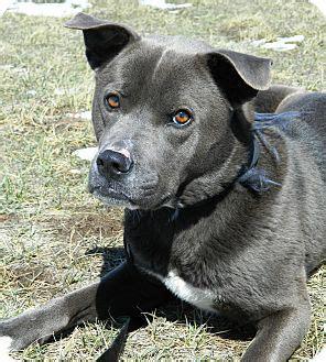nike adopted dog  cheyenne wy akita