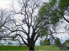 Black Walnut Tree facts garden id toxic The Old Farmer's