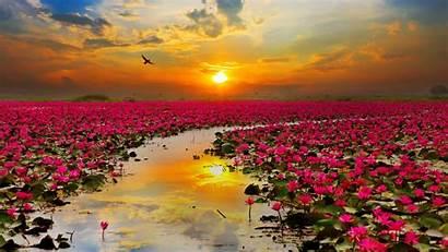 Flowers Lotus Wallpapers 1080 1920 1280 1600
