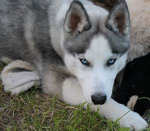 siberian husky wolf grey - Google Search | ΖΩΑ