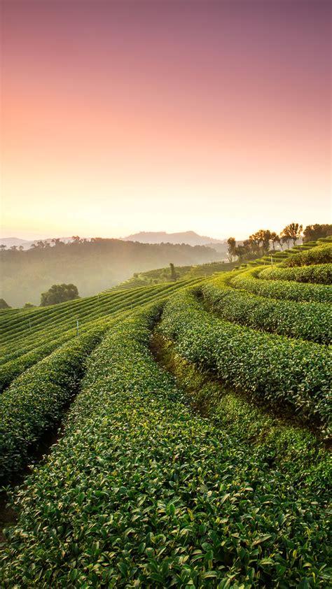 wallpaper tea plantation landscape hd nature