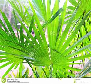 Chit Palm Tree Leaves In Yucatan Rainforest Mexico Stock ...