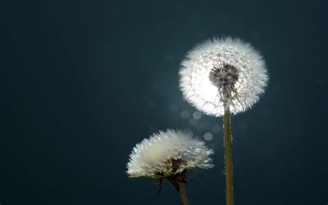 Free Download Dandelion Background For Pc