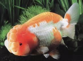 金魚 ランチュウ に対する画像結果