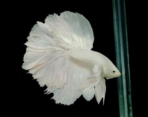 betta fish ideas  pinterest betta beautiful