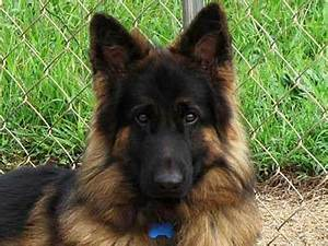 King Shepherd - Information, Characteristics, Facts, Names