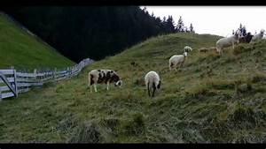 Leben In österreich : sterreich urlaub in k rnten weissensee auch die schafe leben auf die berge youtube ~ Markanthonyermac.com Haus und Dekorationen