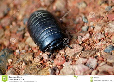 Borneo Sphaerotheriida Giant Pill Millipede Stock Image