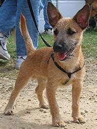 cairn terrier jack russell terrier mixed breed dog