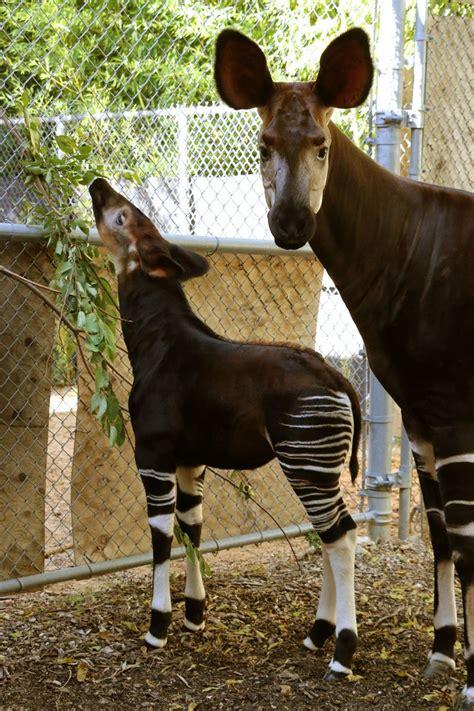 Okapi Zooborns