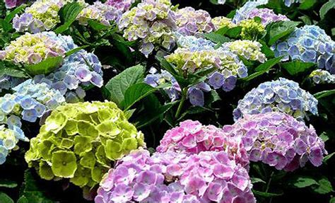 feeding hydrangeas in pots 28 images 95 best images