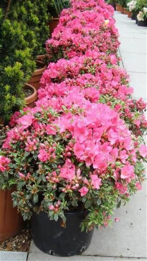 azaleas in pots care azalea japonica silver small low growing shrub with mound forming habit and beautiful