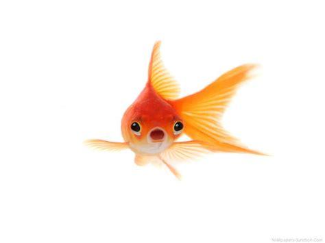 goldfish wallpaper wallpapersafari