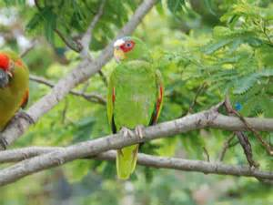 The Online Zoo - White-fronted Amazon
