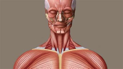 The human body consists of over 600 muscles. human muscle system | Functions, Diagram, & Facts | Britannica