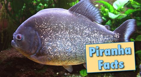 piranha facts information  pictures video