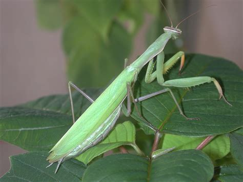 praying mantis colors mantids yakima county washington state