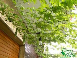 Orto balcone: la pergola mangereccia Fiori e Foglie
