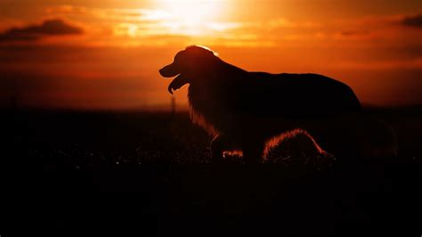 wallpaper dog silhouette sunset animals