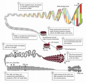 How Are Chromosomes Structured In Animal Cells