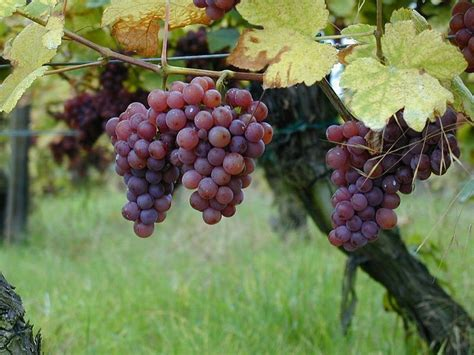 Vitis Vinifera Gewurtztraminer Wine Grape Seeds Ebay