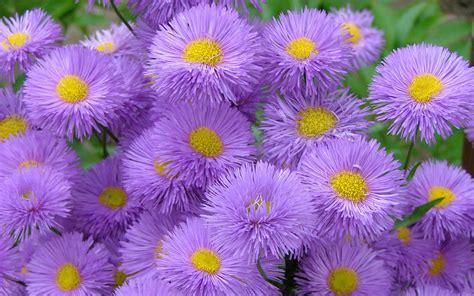 meadow wildflowers aster purple flowers national park