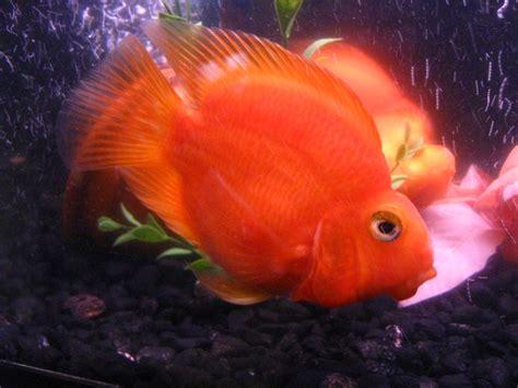 blood parrot fish file redparrot32 jpg