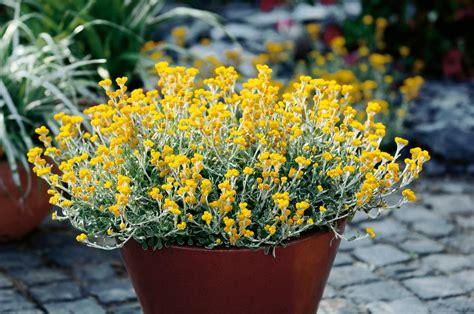 flambe yellow strawflower chrysocephalum apiculatum