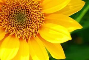 Macro-Sunflower-Petals.jpg (900×603)   Amazing Pics ...