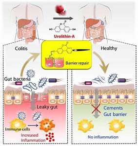 Metabolite Produced By Gut Microbiota From Pomegranates