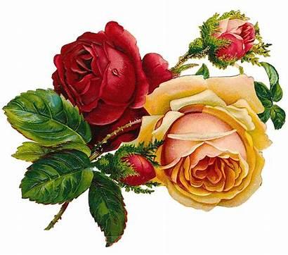 Roses Flowers Pixabay