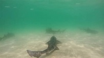 Leopard sharks in La Jolla Cove - YouTube