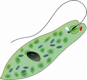 Protists: Biology - (Characteristics + Groups + Facts ...