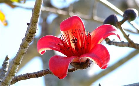 bombax ceiba red silk cotton tree wallpaperscom