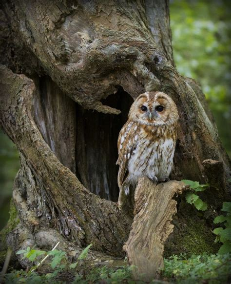 "Faerieforests ""tawny Owl In The Woods By Wendy Salisbury"