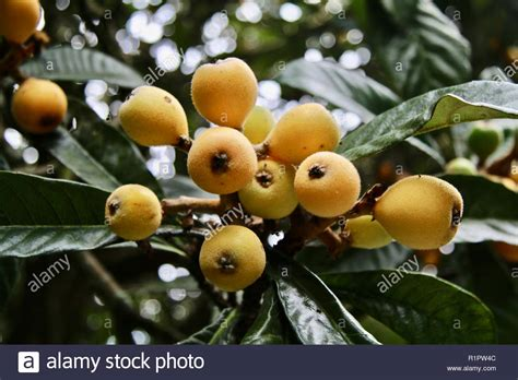 loquat tree stock  loquat tree stock images alamy