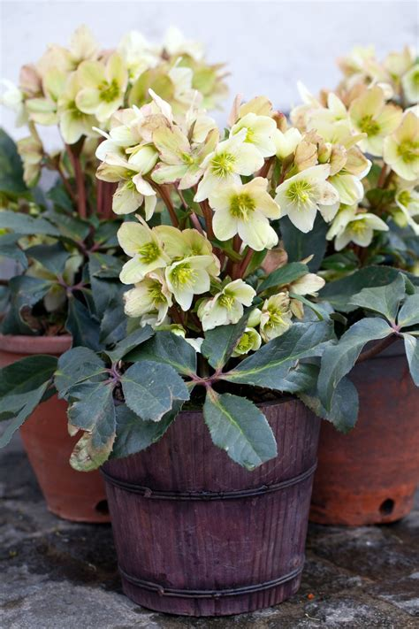 growing hellebores in containers hellebores the winter rose
