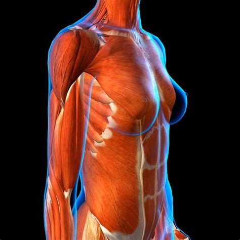 Lower central or left sided abdominal pain or discomfort (more often on the lower left abdomen) that is relieved with defecation. Side View of Female Chest and Abdominal Muscles Anatomy in Blue X-Ray outline. Full Color 3D ...