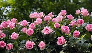 Ornamental, Plants, -, Rose