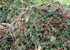Strauch Mit Roten Beeren Im Winter : zierstrauch mit roten beeren im winter ostseesuche com ~ Frokenaadalensverden.com Haus und Dekorationen