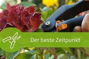 Wann Schneidet Man Rosen Zurück : pflanzen schneiden ber 20 anleitungen im pflanzenschnitt magazin ~ Orissabook.com Haus und Dekorationen